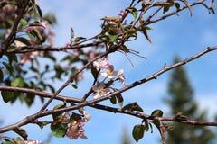 春天背景的桃红色苹果开花和蓝天关闭 库存图片