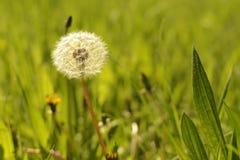 春天背景,在草的蒲公英 免版税库存照片