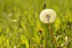 春天背景,在草的蒲公英 库存照片