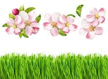 春天自然对象 苹果树开花和新鲜的绿草 免版税库存图片