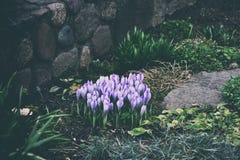 春天色的番红花 免版税库存图片
