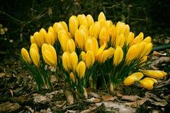 春天色的番红花 库存图片