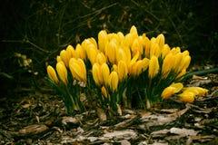 春天色的番红花 免版税库存照片
