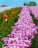 春天花五颜六色的郁金香 库存图片