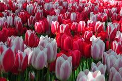 春天花卉绽放 与自然光作用的充满活力的桃红色,红色和紫色花床在荷兰庭院里 这欧洲计数 免版税图库摄影