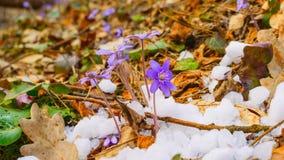 春天花和熔化的雪,定期流逝 影视素材