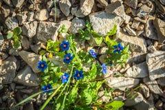春天花在沙漠 库存照片