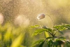 春天花在雨中 库存照片