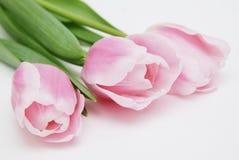 春天花桃红色在白色背景的郁金香花束与文本的拷贝空间 库存图片