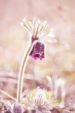 春天花银莲花属hirsutissima 免版税库存照片