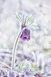 春天花银莲花属hirsutissima 库存照片