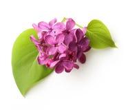 春天花,与叶子的枝杈紫色丁香 免版税库存照片