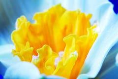 春天花, jonquil,黄水仙的宏观图象。 免版税库存照片