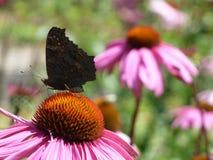 春天花:一只蝴蝶的关闭在一朵桃红色花 免版税图库摄影