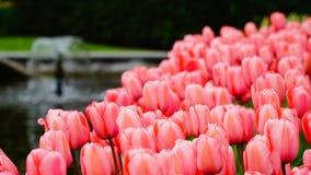春天花:关闭一条明亮的三文鱼/桃红色郁金香在春季 图库摄影
