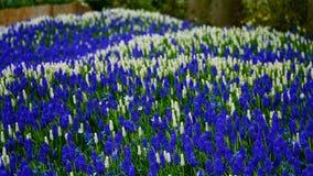 春天花:白色和蓝色穆斯卡里地毯开花 库存照片
