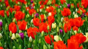 春天花:红色和白色郁金香的领域在Keukenhof庭院,荷兰里 库存图片