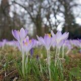 春天花-在特写镜头的紫色番红花 免版税图库摄影