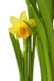 春天花-在白色backgr和黄水仙隔绝的水仙 免版税库存图片