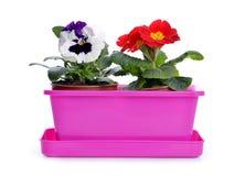 春天花蝴蝶花和报春花在桃红色罐 库存图片