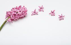 春天花- hiacinth桃红色颜色 图库摄影