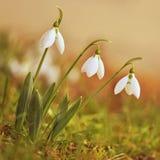 春天花- Snowdrops 美妙地开花在草在日落 属石蒜科- Galanthus nivalis 免版税库存图片