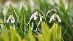 春天花- Snowdrops 美妙地开花在草在日落 属石蒜科- Galanthus nivalis 图库摄影