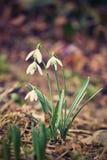 春天花- Snowdrops 美妙地开花在草在日落 属石蒜科- Galanthus nivalis 库存照片
