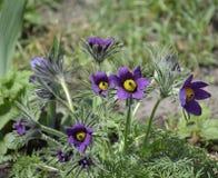 春天花Pasqueflower-白头翁属grandis 库存照片
