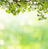 春天苹果开花背景 库存图片