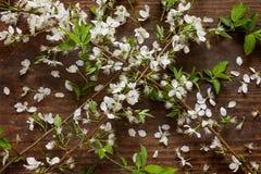 春天苹果树在木背景开花作为静物画 免版税库存图片