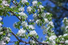 春天苹果树 免版税库存照片