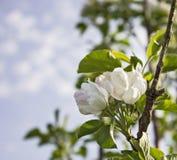 春天苹果计算机开花 库存照片