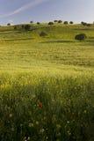 春天草甸和橡树 西班牙 库存图片