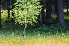 春天草甸和白杨木和冷杉木 免版税库存照片