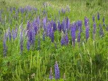 春天草甸 与开花的羽扇豆的绿草 免版税图库摄影