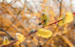 春天草甸 蜂蜜蜂收集花蜜 免版税库存图片