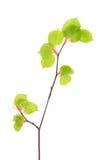 年轻春天菩提树在白色隔绝的分支离开 库存照片