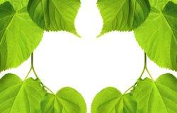 春天菩提树树叶子框架  库存照片