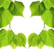 春天菩提树树叶子框架  免版税图库摄影