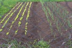春天葱和沙拉在菜园里 免版税库存照片