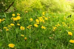 春天蒲公英沼地 许多黄色花、草和温暖的光 免版税库存图片