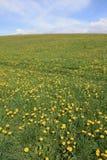 春天蒲公英领域 库存照片
