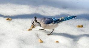 春天蓝色尖嘴鸟在熔化的春天粒雪的Cyanocitta cristata,吸引由花生奉献物,一种喜爱的款待 库存图片