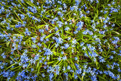 春天蓝色花荣耀这雪 图库摄影