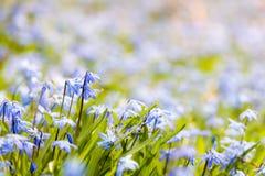 春天蓝色花荣耀这雪 库存照片