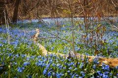 春天蓝色花荣耀这雪 库存图片