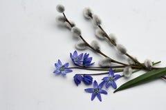 春天蓝色野花Scilla,杨柳在高尚的Carrar分支 库存照片