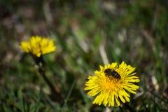 春天蜂开始的worknull 库存图片