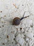 春天蜗牛 库存照片